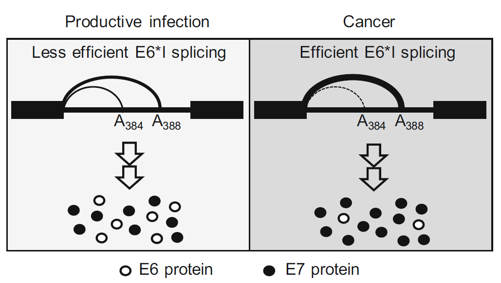 HPV18 Utilizes Two Alternative Branch Sites for E6*I Splicing to Produce E7 Protein
