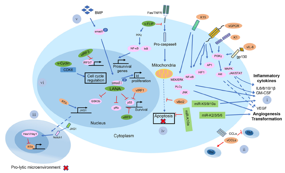 Towards Better Understanding of KSHV Life Cycle: from Transcription and Posttranscriptional Regulations to Pathogenesis