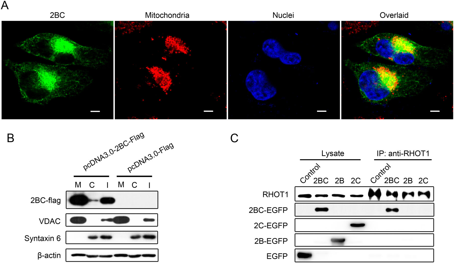 Mitochondria Redistribution in Enterovirus A71 Infected Cells and Its Effect on Virus Replication