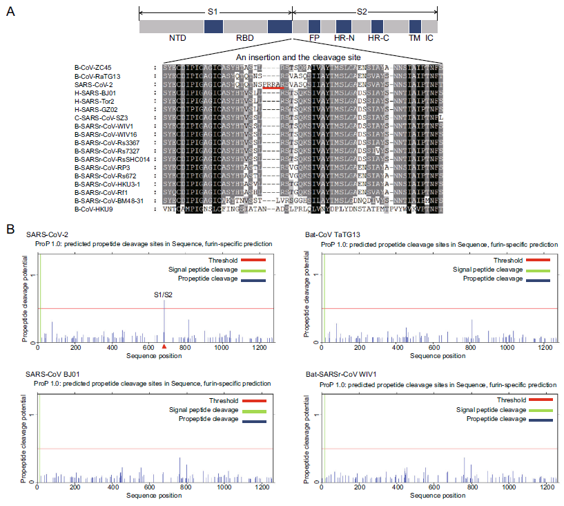 A Unique Protease Cleavage Site Predicted in the Spike Protein of the Novel Pneumonia Coronavirus (2019-nCoV) Potentially Related to Viral Transmissibility