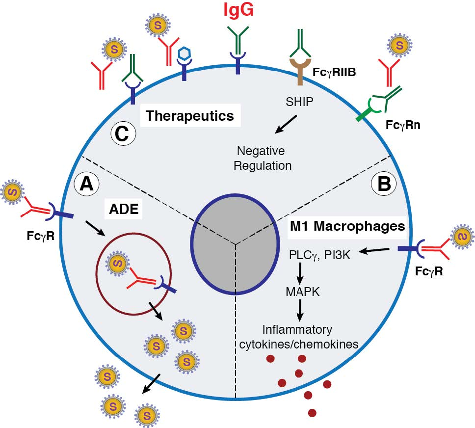 Understanding SARS-CoV-2-Mediated Inflammatory Responses: From Mechanisms to Potential Therapeutic Tools<br />